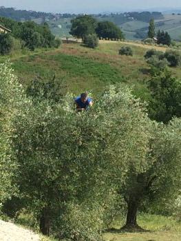De olijfboomgaard is gesnoeid en klaar voor een mooie oogst
